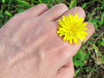 Hand holding a yellow dandelion Royalty Free Stock Photography