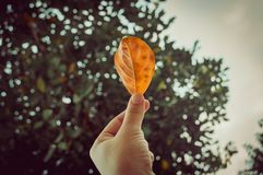 Hand holding a yellow leaf on the background there are autumn trees in the forest or park. Royalty Free Stock Photo