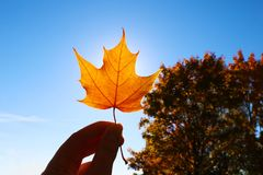 Hand holding yellow maple leaf on autumn yellow sunny background.  stock photography