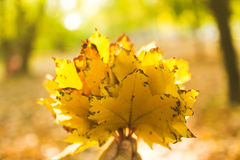 Hand holding yellow maple leaves on autumn sunny background Royalty Free Stock Images