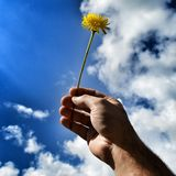 Hand holding a yellow wild flower Royalty Free Stock Image