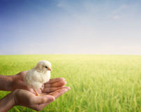 Hand holding a young chick stock photos