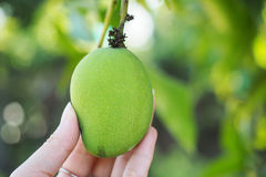 Hand holding the young & fresh green mango. Focusing of hand holding the young & fresh green mango with green natural background Stock Image