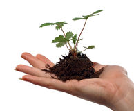 Hand Holding Young Plant. Hand holding strawberry plant seedling cupped in the palm royalty free stock image