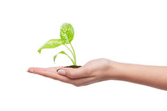 Hand holding young plant. In soil on white Royalty Free Stock Image