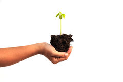 Hand holding young plant with soil isolated on white background Stock Photography