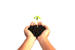 Hand holding young plant with soil isolated on white background Royalty Free Stock Photo