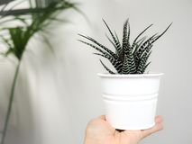 Hand holding a zebra haworthia succulent indoor against a white royalty free stock images