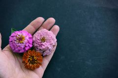 Hand holding Zinnia flower heads with copy space on black background stock images