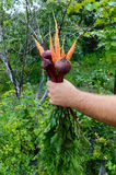 Hand holds a armful of freshly picked carrots and beets on the background of nature. Stock Photo