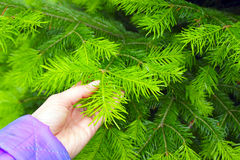 Hand holds a branch fir tree. Hand holds a branch of fir stock photography