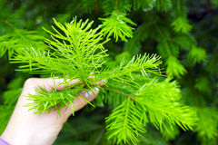 Hand holds a branch fir tree. Hand holds a branch of fir royalty free stock image