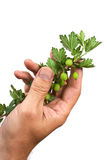 Hand holds a branch of gooseberries Royalty Free Stock Photography