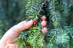 Hand holds a branch of an eternally green yew with ripening berries Stock Image