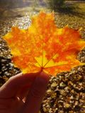Hand holds a bright autumn maple leaf on the background of fallen leaves. Walk Stock Photography