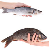 Hand holds carp and seabass fish. Royalty Free Stock Photography