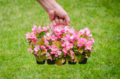Hand holds container of pink blossom begonia in garden Royalty Free Stock Photo