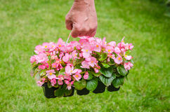 Hand holds container of pink blossom begonia in garden Stock Photos