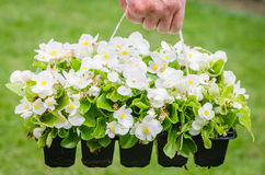 Hand holds container of white blossom begonia in garden Stock Images