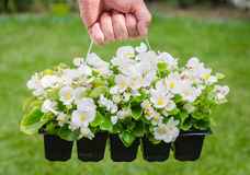 Hand holds container of white blossom begonia in garden Royalty Free Stock Images