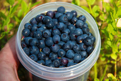 The hand holds the cup of blueberries in the green background of grass in the forest. Royalty Free Stock Images