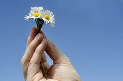 Hand holds flowers Royalty Free Stock Photo