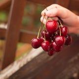 Hand holds fresh cherry royalty free stock photos