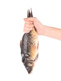 Hand holds fresh mirror carp. Stock Image
