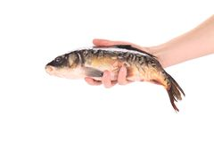 Hand holds fresh mirror carp. Stock Images