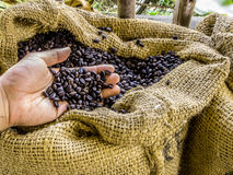 A hand holds fresh roasted aromatic coffee beans in brown sack with farm environment. Stock Images