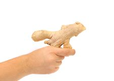 Hand holds ginger root as gan. Stock Image