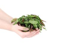Hand holds green mix of herbs. Stock Photo