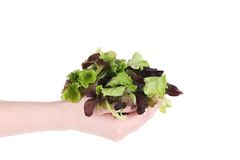 Hand holds green and red leaf of lettuce. Stock Photos