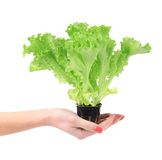 Hand holds growing green lettuce Stock Photos