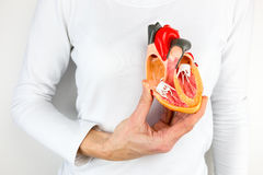 Hand holds human heart model at body. Female hand holding open human heart model at body royalty free stock image