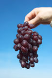 Hand holds a juicy ripe cluster of grapes, against the background of the blue Stock Photos