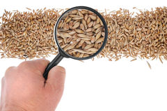 The hand holds a magnifying glass over the grain Stock Photos