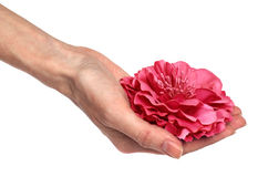Hand holds the pink flower on white background. Hand of woman holds the pink flower on white background Stock Image
