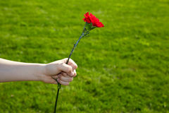 Hand holds red carnation in the fist Royalty Free Stock Photo