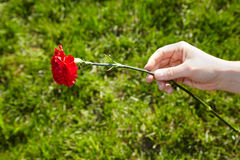 Hand holds red carnation on grass background Royalty Free Stock Photo