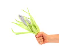 Hand holds silver corncob by green leaves. Stock Images