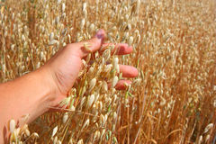 Hand Holds The Ear Of Oats Royalty Free Stock Image