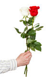 Hand holds two white and red roses isolated Stock Images