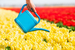 Hand holds watering pot and tulip field rows Royalty Free Stock Photos