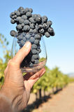 Hand holds wine glass with grapes Royalty Free Stock Image