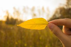 Hand holds yellow leaf on autumn field and sky background. Autumn season composition in forest. Hand holding yellow leaf on field background. Autumn time season royalty free stock photos