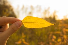 Hand holds yellow leaf on autumn field and sky background. Autumn season composition in forest. Hand holding yellow leaf on field background. Autumn time season royalty free stock images