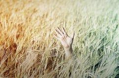 Hand im Weizen Stockbilder