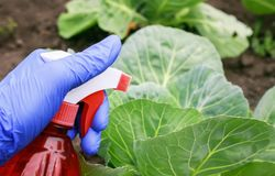 Free Hand In A Rubber Glove Performs Agricultural Work On The Processing Of The Spray From Pests Of Green Cabbage In The Summer Garden Royalty Free Stock Photos - 140671858