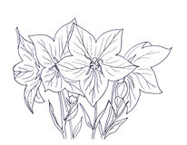 Hand ink drawing bellflower Stock Photography